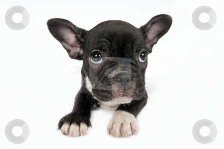 French Bulldog puppy in front of a white background  stock photo, French Bulldog puppy in front of a white background by Borislav Stefanov