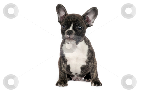 French Bulldog puppy. stock photo, French Bulldog puppy in front of a white background. by Borislav Stefanov