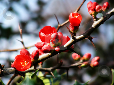 Plum Branch stock photo, Bright red flowers on the branch of a plum tree. by Mary Lane
