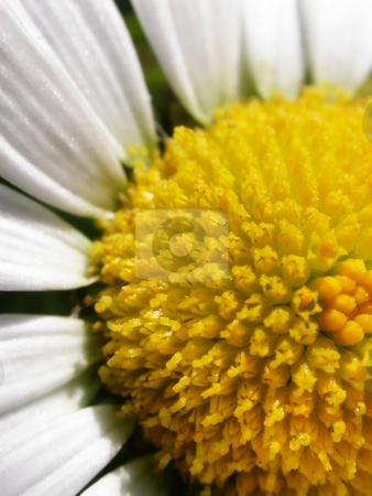 Daisy stock photo, The face of half a bright yellow sunny daisy. by Mary Lane