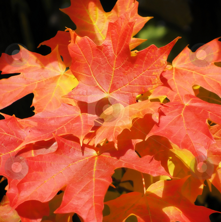 Colorful Maples stock photo, Bright red, yellow and orange colors on the leaves of a maple tree. by Mary Lane