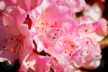 Rhododendron stock photo, A bunch of very pink rhododendron flowers. by Mary Lane