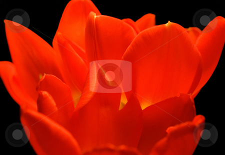 Tulip Petals stock photo, Light glowing through bright red orange tulip petals. by Mary Lane