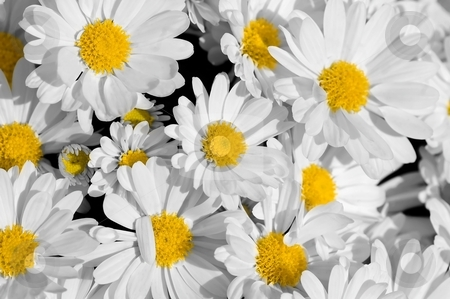 Pretty Daisies stock photo, A carpet of pretty daisies to brighten up any day. by Mary Lane