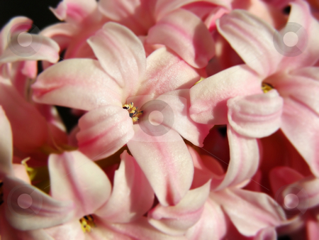 Pink Hyacinth stock photo, Pretty, fragrant pink hyacinth blossoms - a real spring treat. by Mary Lane