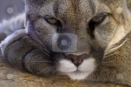 Cougar stock photo, Ferocity at rest - a cougar taking a break at the Colorado Springs Zoo. by Mary Lane