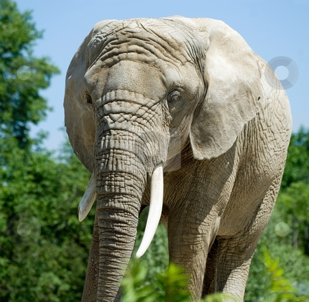 Elephant stock photo, Elephant hanging out at the Toronto Zoo, Toronto, Canada. by Mary Lane