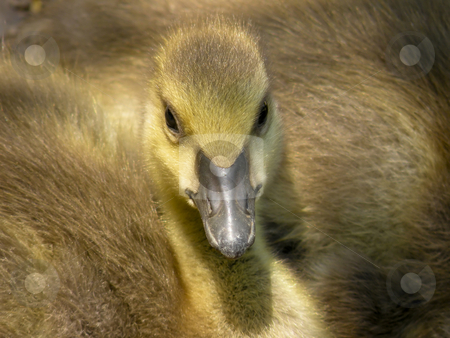 Gosling stock photo, Look at me, I'm cute!! A brand new Canada Goose who conveniently sat down at my feet. by Mary Lane