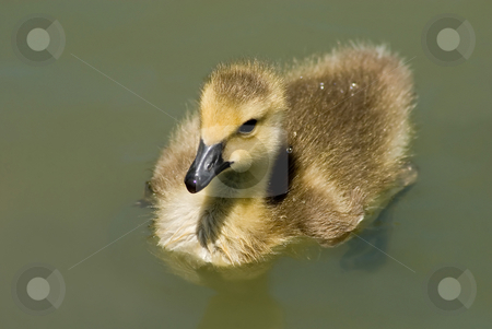Wee Goose Swimming stock photo, Massively cute little Canadian Goose swimming in a local pond. by Mary Lane