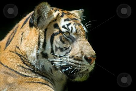 Sumatran Tiger stock photo, Now I swear this one was posing - Sumatran Tiger looking regal at the zoo. by Mary Lane