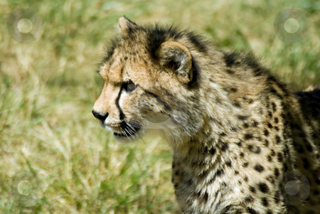 Cheetah stock photo, Teenage cheetah, on the prowl for fun. by Mary Lane