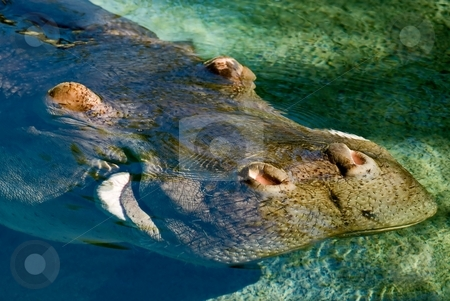 Hippo stock photo, Best place to be on a hot summer day - hippo in the pool. by Mary Lane