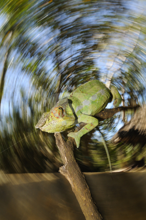 Chameleon  stock photo, Chameleon on a branch with a circular background by Marco Barone