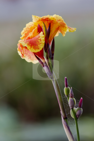 Morning Bloom and Webs stock photo, Orange and yellow flower, bloom and buds, are touched with the soft lines of small webs, perspectives of nature's intertwined insect and flower life; by Florence McGinn