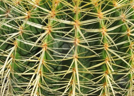 Golden barrel cactus, Echinocactus grusonii, close up. stock photo, Golden barrel cactus, Echinocactus grusonii, close up. by Stephen Rees