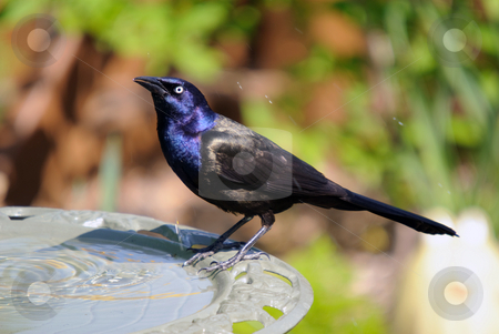 common grackle images. Common Grackle on the side of