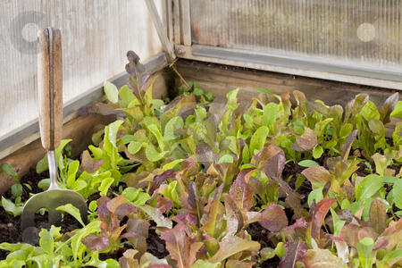 Baby lettuce on greenhouse stock photo, A dense crop of green and red baby lettuce in a corner of greenhouse by Marek Uliasz