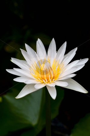 Water Lily stock photo, White water lily in full bloom at a local pond by Arvind Balaraman