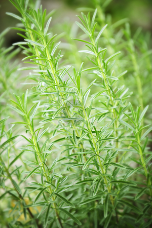 Rosemary herb plants stock photo, Fresh green rosemary herbs growing in garden by Elena Elisseeva
