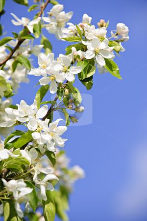 Blooming apple tree branches stock photo, Blooming apple tree branches in spring orchard by Elena Elisseeva