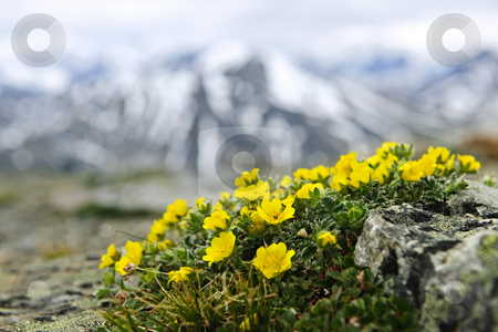 Alpine meadow in Jasper National Park stock photo, Alpine meadow with potentilla flowers blooming on Whistlers mountain in Jasper National Park, Canada by Elena Elisseeva