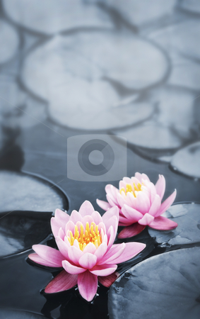 Lotus blossoms stock photo, Pink lotus blossoms or water lily flowers blooming on pond by Elena Elisseeva