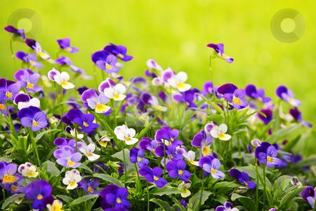 Pansies stock photo, Flowering purple pansies in the garden as floral background by Elena Elisseeva