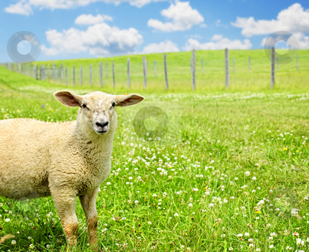 Cute young sheep stock photo, Cute funny sheep or lamb in green meadow by Elena Elisseeva