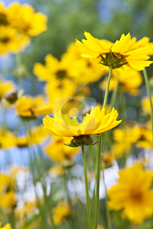Yellow coreopsis flowers stock photo, Close up of yellow coreopsis flowers blooming in a garden by Elena Elisseeva