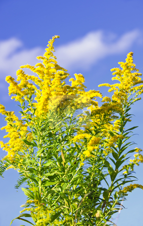 Goldenrod plant stock photo, Blooming goldenrod plant on blue sky background by Elena Elisseeva