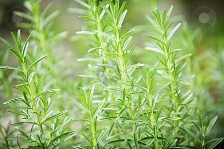 Rosemary herb plants stock photo, Fresh green rosemary herbs growing in garden by Elena Elisseeva