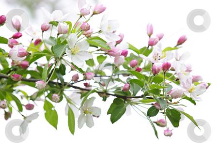 apple tree branch. Blooming apple tree branch