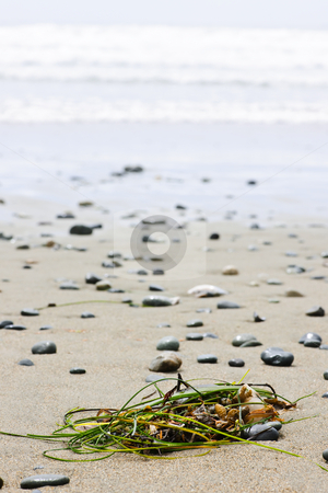 Beach detail on Pacific ocean coast of Canada stock photo, Seaweed on sand, Long Beach in Pacific Rim National Park, Canada by Elena Elisseeva