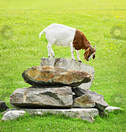 Funny goat stock photo, Cute goat standing on rocks looking down by ...