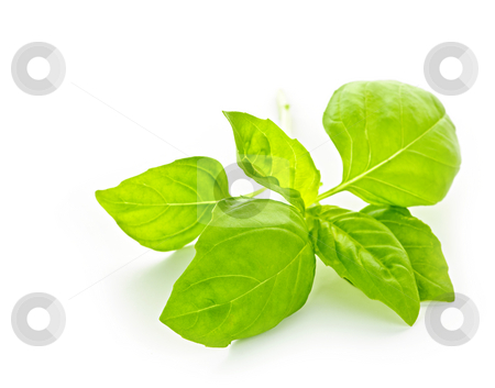Basil sprig stock photo, Fresh basil leaves isolated on white background by Elena Elisseeva