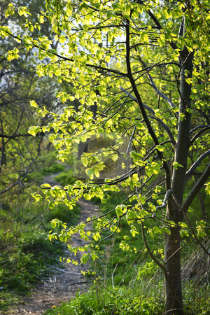 Forest path with backlit linden tree stock photo, Hiking trail on a sunlit forest path in spring with young linden tree by Elena Elisseeva
