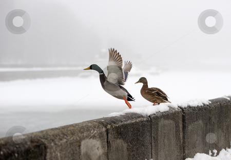 Ducks in the winter in the city stock photo, Ducks wintering on the river in the city, takes off from the parapet. by Vladimir Blinov