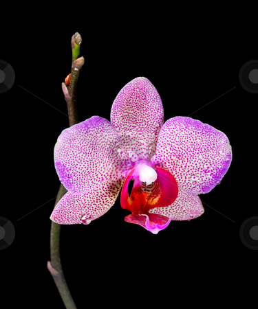Orchid stock photo, Bright beautiful tropical flower, growing in the apartment. by Vladimir Blinov