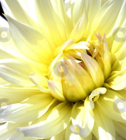 Dahlia stock photo, Pale-yellow dahlia close-up - center of flower by Tatjana Keisa