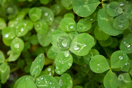 Clover stock photo, Fresh clover. Drops of dew on leaves by foryouinf