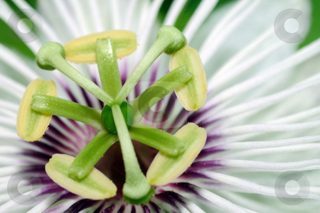 Passion Flower stock photo, Extreme closeup of the beautiful passion flower by Arvind Balaraman