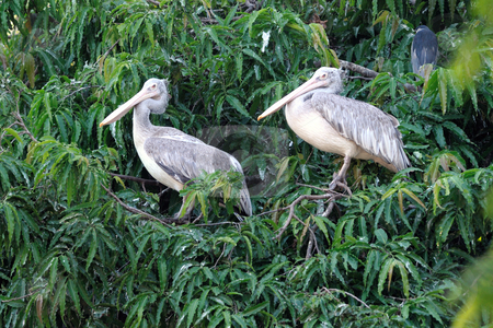 Pelicans stock photo, Two spot billed pelicans resting on the top of a tree by Arvind Balaraman