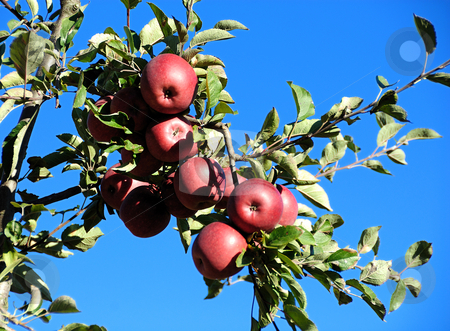 Apples stock photo, Fresh and juicy red apples at a local orchard by Arvind Balaraman