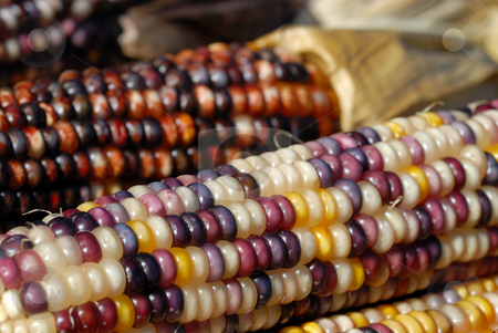 Indian Corn stock photo, Freshly harvested Indian corn on display at a market by Arvind Balaraman