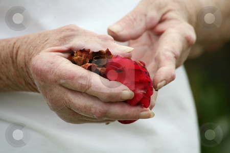Arthritic hands holding rose petails stock photo, Living with pain series. Senior woman with rheumatoid srthritis nodules on her hands holding rose petals. by suemack