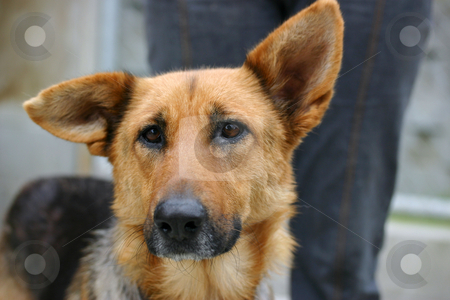 Sad german shepherd dog stock photo, Homeless animals series. Sad looking german shepherd dog with a tatty damaged ear by suemack
