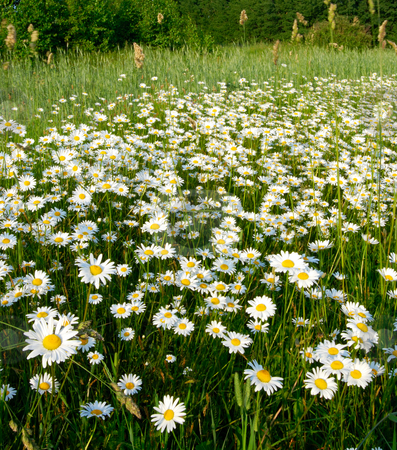 Blooming meadow. stock photo, Meadow covered with flowers camomile in the middle of summer. by Vladimir Blinov