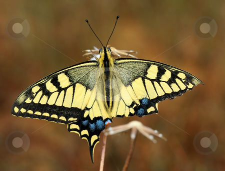 Swallowtail butterfly stock photo, Swallowtail butterfly with a damaged wing sits on a dry plant by Vladimir Blinov