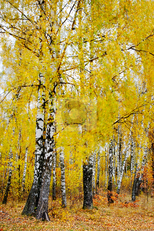 Watercolors of autumn stock photo, Bright autumn foliage of the birches, soft fuzzy brush strokes surrounding the black and white trunks. by Vladimir Blinov