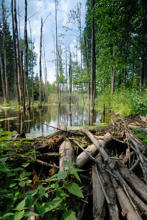 Beaver Dam stock photo, The dam of logs and branches, made of beaver on the forest stream. by Vladimir Blinov